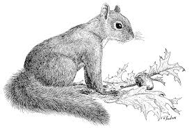 grey squirrel drawing