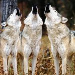 wolves howling in group