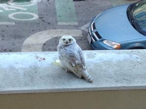 snowy owl in dc 2