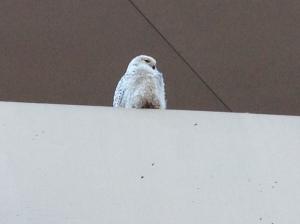 snowy owl in dc