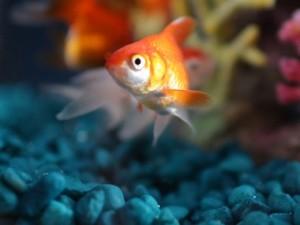 Goldie the Fish Bowl fish
