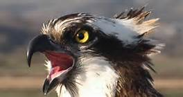 Osprey head