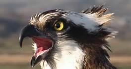 Osprey head
