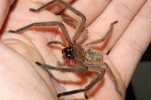 220px-Huntsman-spider-in-hand