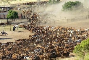 Australian-ranch