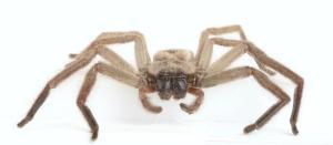 Avondale spider