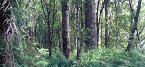 kauri-forest-565