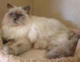 Marius cream kitty