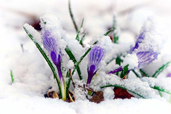 crocuses-in-snow